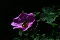 De violette bloem van parkhond nam Rosa Canina met groene bladeren op donkere achtergrond toe Royalty-vrije Stock Afbeelding