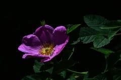 De violette bloem van parkhond nam Rosa Canina met groene bladeren op donkere achtergrond toe Royalty-vrije Stock Foto's