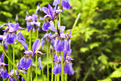De violette Bloemen van de Iris Stock Foto's