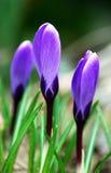 De violette bloemen van de lente Stock Fotografie