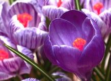 De violette en gestripte bloemen van de krokuslente stock afbeelding