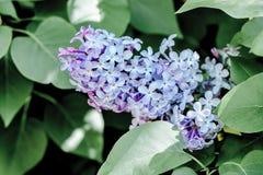 De violette lilac purpere boom van de de lentebloem in de tuin Royalty-vrije Stock Fotografie