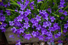 De viooltje gekleurde bloemen van Klokjemuralis als achtergrond die in de tuin groeien stock foto's
