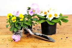 De viooltjes planten hulpmiddelen stock afbeeldingen