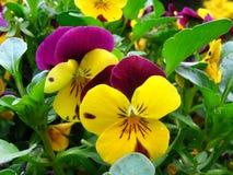 De viooltjes zijn? royalty-vrije stock fotografie