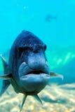 De vis kijkt als menselijk gezicht stock afbeeldingen