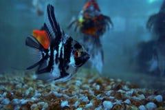De vis is vriendelijk van cichlids die in water zwemmen royalty-vrije stock foto