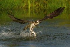 De Visarend, Pandion-haliaetus ving enkel de vissen stock fotografie