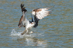 De visarend vangt een vis van het meer en begrijpt het in zijn klauwen stock foto's