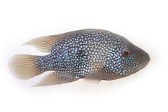 De vissen Stock Afbeelding