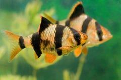 De vissen Capoeta Tetrazona van het aquarium Stock Afbeelding