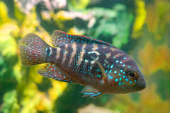 De vissen Cichlidae van het aquarium stock foto's