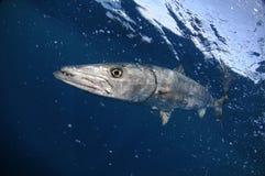 De vissen die van de barracuda in blauw oceaanwater zwemmen royalty-vrije stock fotografie