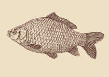 De vissen die van de karper vectorillustratie trekken Stock Afbeeldingen