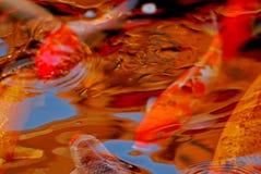 De vissen die van Koi in de vijver zwemmen Royalty-vrije Stock Afbeelding
