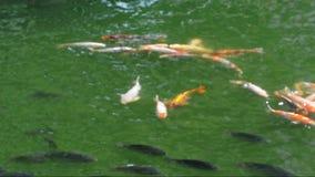 De vissen die van Koikarpers in vijver zwemmen stock footage