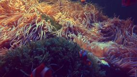 De vissen die van de Nemoclown in het anemoonkoraalrif zwemmen stock video