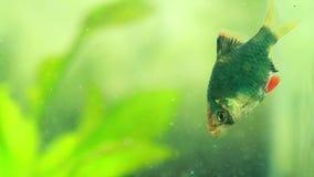 De vissen die van Sumatrantiger barb voedsel eten stock videobeelden