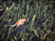 De vissen in donker water, stellen natuurlijke scène tegenover elkaar Stock Afbeeldingen
