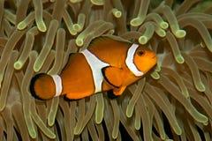 De vissen en de anemoon van de clown Royalty-vrije Stock Afbeeldingen