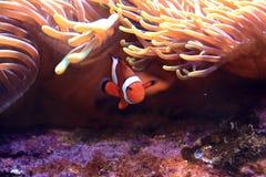 De vissen en de anemoon van de clown stock fotografie