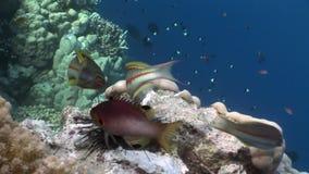 De vissen eten dode diadema van de jongenechinothrix van de Zwarte Zee onderwater stock video