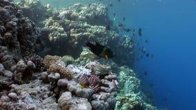 De vissen eten dode diadema van de jongenechinothrix van de Zwarte Zee onderwater stock videobeelden
