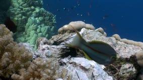 De vissen eten dode diadema van de jongenechinothrix van de Zwarte Zee onderwater stock footage
