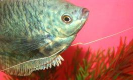 De vissen marmeren gurami Trichogaster van Aquarian trichopte Royalty-vrije Stock Foto's