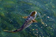 De vissen namen tot de oppervlakte van het water toe Royalty-vrije Stock Fotografie