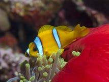 Rode overzees anemonefish Stock Afbeelding