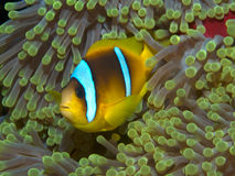 Rode overzees anemonefish Royalty-vrije Stock Foto's