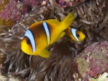 Rode overzees anemonefish Royalty-vrije Stock Foto