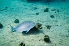 Is de vissen Spangled keizer onder water royalty-vrije stock afbeeldingen