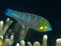 De vissen staart-Vlek van het koraal wrasse Stock Foto