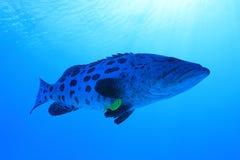 De vissen van de aardappeltandbaars onderwater in het Grote Barrièrerif stock afbeeldingen