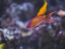 De vissen van Anthia Royalty-vrije Stock Afbeeldingen