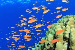 De Vissen van Anthias en Harde Koralen stock fotografie