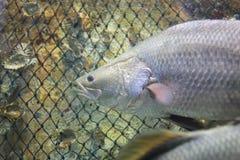 De Vissen van Barramundi Stock Afbeelding