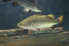 De Vissen van Barramundi Stock Afbeeldingen