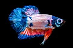 De vissen van Betta Royalty-vrije Stock Fotografie