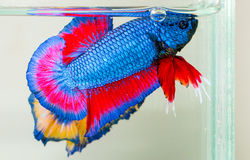 De vissen van Betta Royalty-vrije Stock Afbeeldingen
