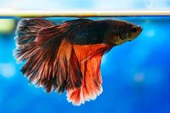 De vissen van Betta Royalty-vrije Stock Foto