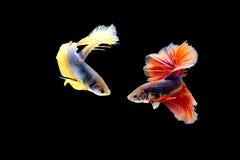 De vissen van Betta Royalty-vrije Stock Foto's