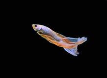 De vissen van Betta Royalty-vrije Stock Afbeelding