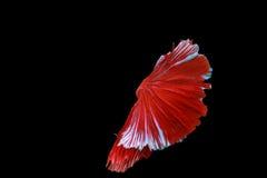 De vissen van Betta Stock Fotografie