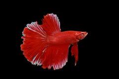 De vissen van Betta Stock Afbeeldingen