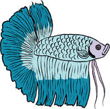 De vissen van Betta of Siamese het vechten vissen Stock Afbeelding