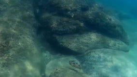 De vissen van de Blackspotted pufferfish kogelvis stock videobeelden