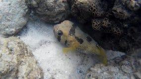 De vissen van de Blackspotted pufferfish kogelvis stock video